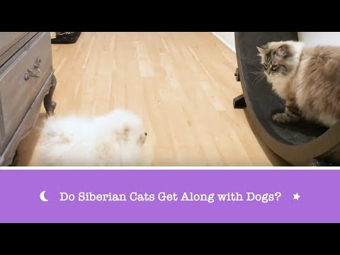 Do Siberian Cats Get Along with Dogs?