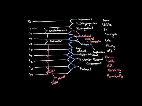 Lumbosacral Plexus Drawing and Spinal Segments