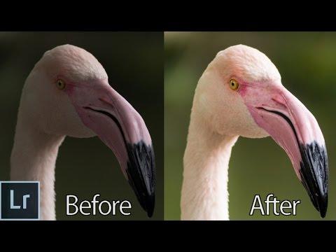 How To Edit Wildlife Photos in Lightroom Tutorial - Lightroom 5 min Quick Edit #016