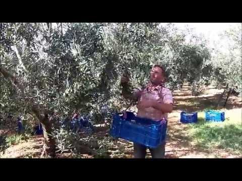 Как растут маслины видео