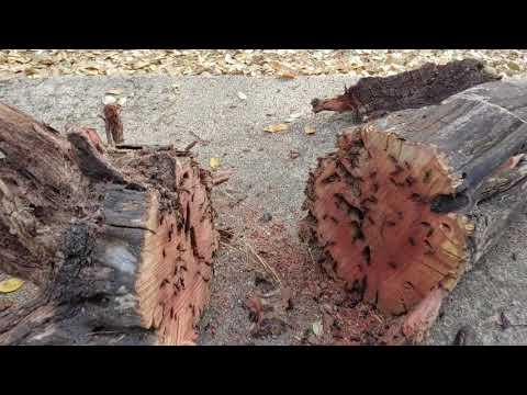 Manzanita Ants