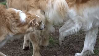 斜面の大型犬用ドッグランに ボルゾイが4頭集まりました。 他のワンち...