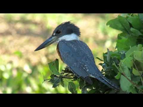 Ringed Kingfisher - Venezuela - Thore Noernberg Birdwatching