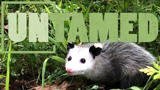 Opossums, the Marsupial Evolutionary Wonder of America