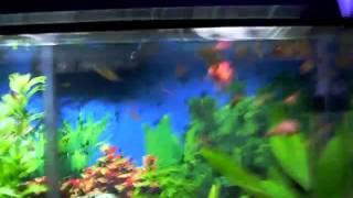 peixe-joia alevinos.avi