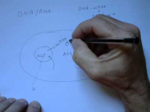 DNA mRNA rRNA transcriptie translatie