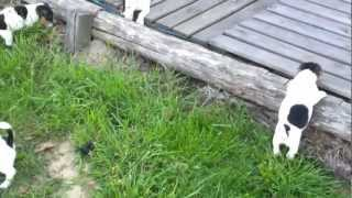 Chiots Jack russel puppies