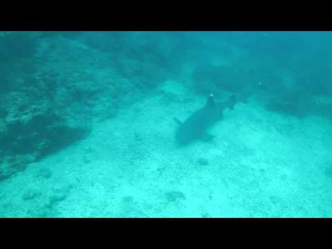 Diving  Costa Rica White Tip Reef Shark