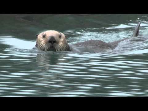 Sea Otters in Alaska's Glacier Bay