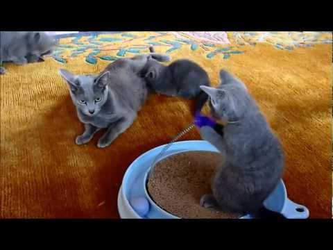 Nimbata - Russisch Blau Kitten / C und D-Wurf   Video 1
