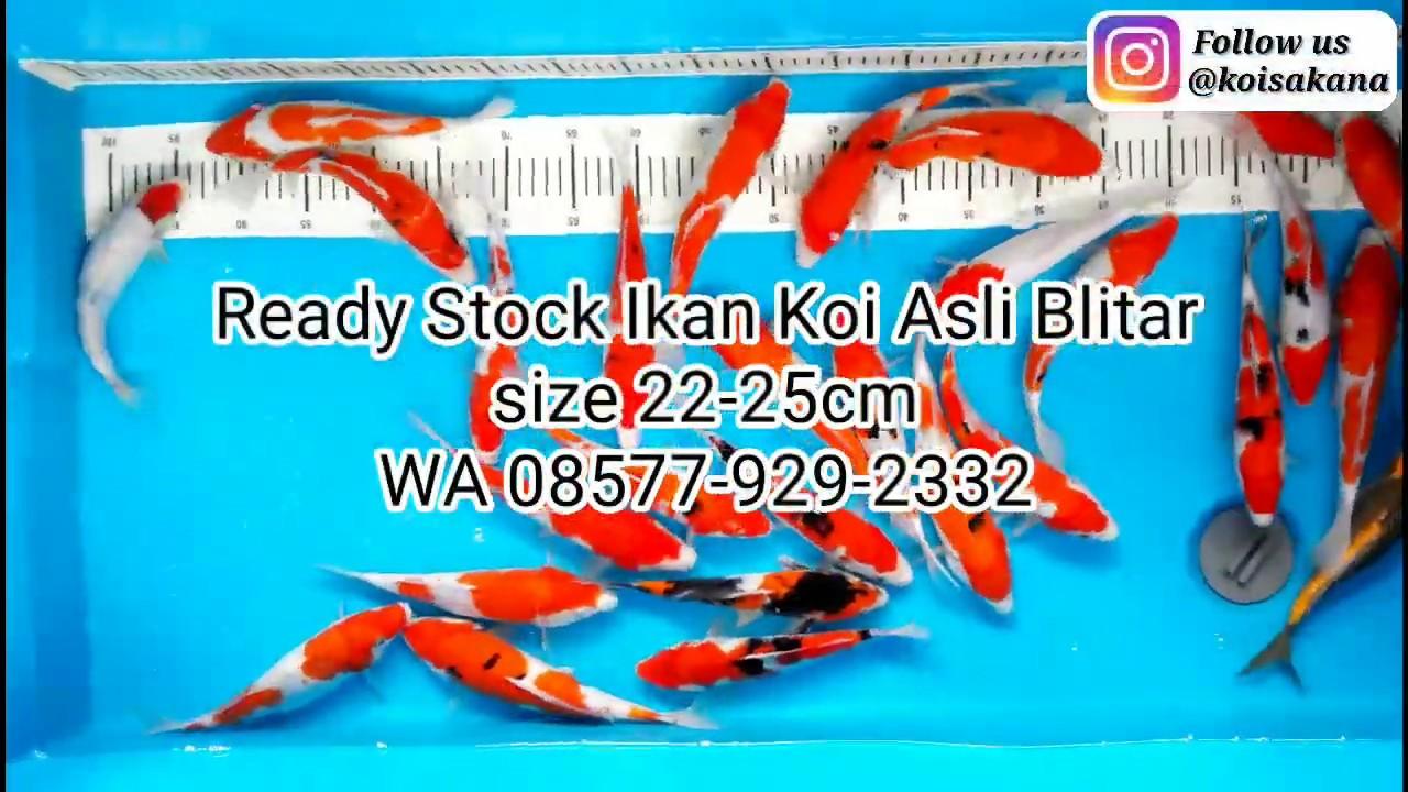 Ikan Koi Blitar