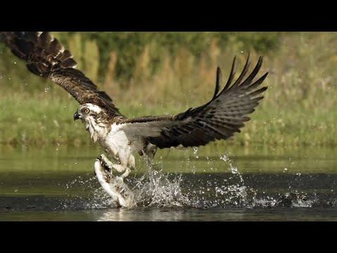 СКОПА — ястреб-рыболов! Хищная птица-ныряльщик! Интересные факты о скопе.