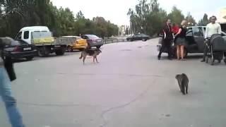 Кот напал на крупную собаку