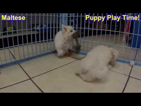 Maltese, Puppies, Dogs, For Sale, In Columbia, South Carolina, SC, Mount Pleasant, Sumter