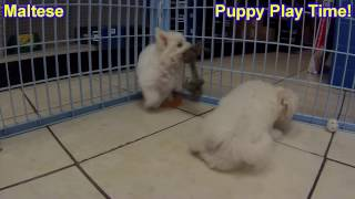 Maltese, Puppies For Sale, In, Nashville, Tennessee, Tn, County, 19breeders, Knoxville, Smith
