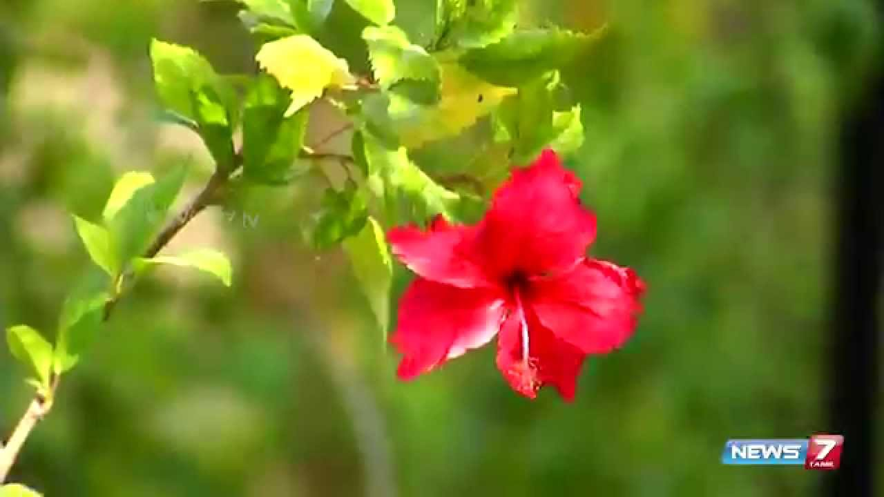 Sembaruthi Flower Hibiscus Rosa Sinensis Adds Beauty To Your
