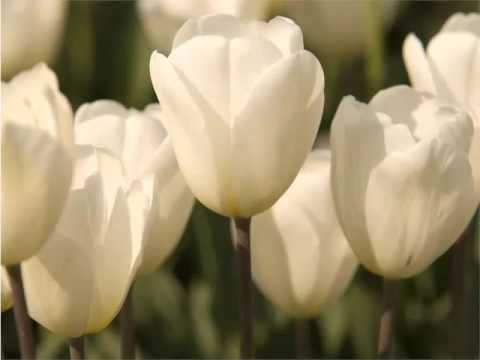 White Tulips | Beautiful Pictures Of White Folwers - Phula Pics