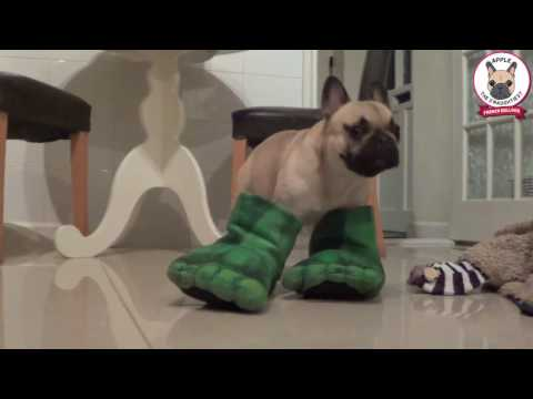 Naughty Funny French Bulldog Attacking Incredible Hulk Slippers. Apple Frenchie dog playing a game