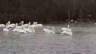 Pelicans herding fish Thumbnail