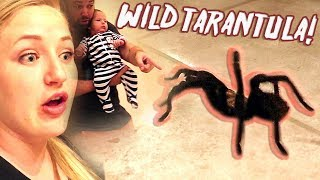 Wild Tarantula Get's Loose In Our House! Huge Spider!