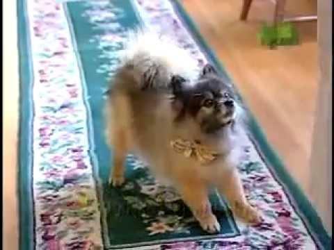 Dog Breeds 101 Video: Pomeranian