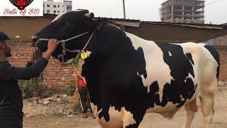 Biggest Bull of BD 2021.Wealthtech Agro farms bosila.Huge Holstein Fresian Bull.1100kg Live weight.