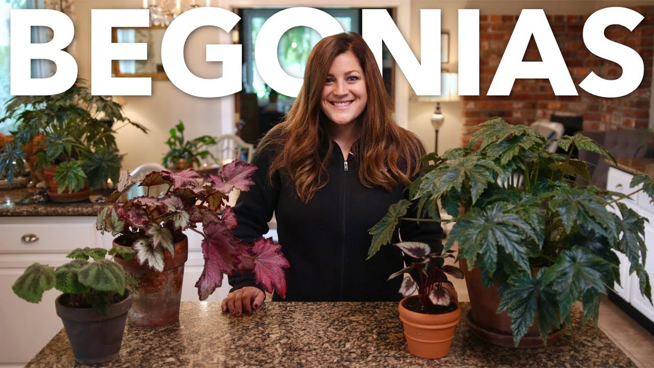 indoor-begonia-care-guide-garden-answer