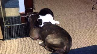 Cat Loves All Over 100 Lb Blue Brindle American Pit Bull Terrier - Manny Der
