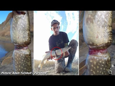 The fish a man found in a Canadian river that had grown AROUND plastic drink ring