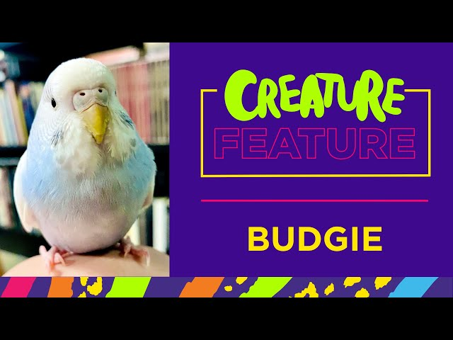 Creature Feature: Featuring R2D2, the Budgie!
