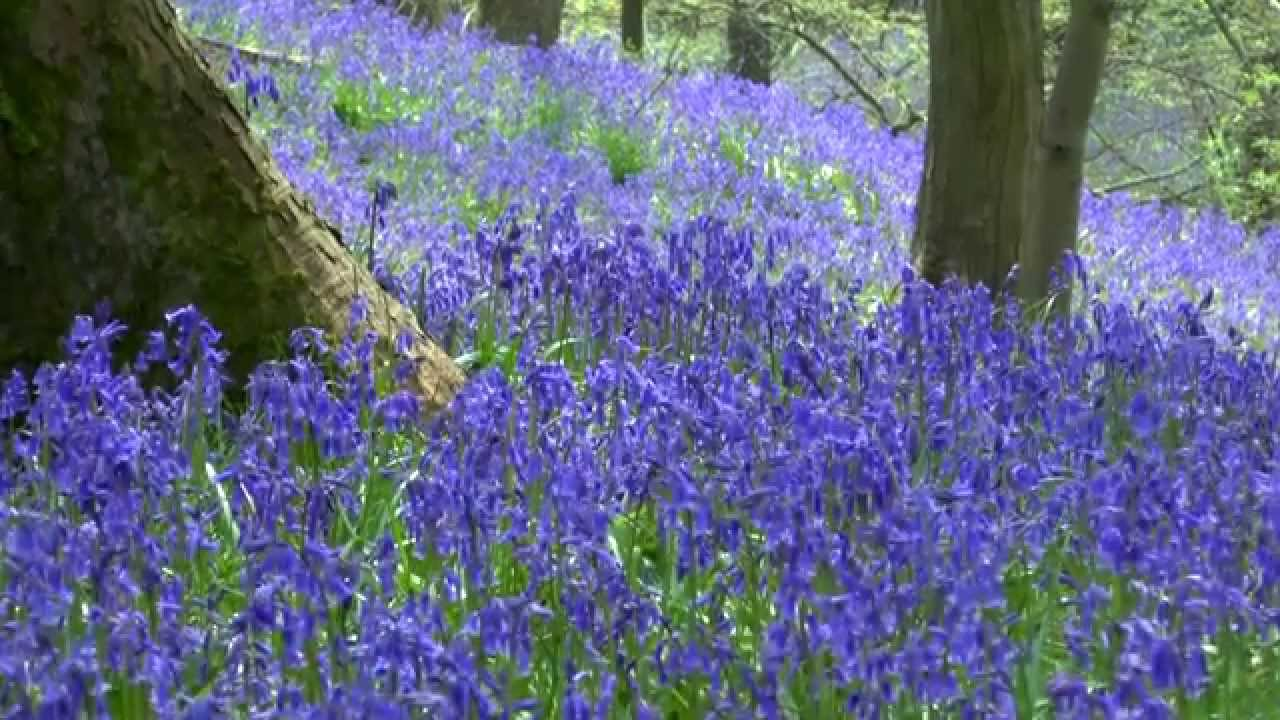 BLUEBELL WOODS in Northwest England - YouTube