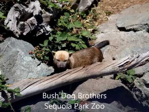 Bush Dogs at Sequoia Park Zoo