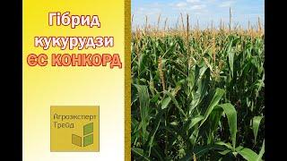 Кукуруза ЕС Конкорд  🌽 - описание гибрида 🌽, семена в Украине