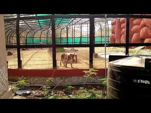 Tiger Attacks In Zoo Park Warangal
