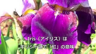 【感動・心の旅アーカイブ】白紫のアヤメ(菖蒲、文目、綾目)と五月晴れ20180505