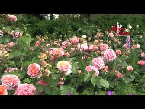 ROSES, NOSTALGIC ROSES, FRAGRANT ROSES