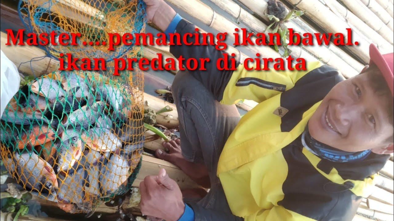 Pemecah rekor..memancing ikan predator di cirata-mancing mania- mancing di Cirata.