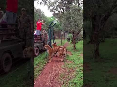 Omg..The athletic tiger!!! LOL(MUST WATCH)