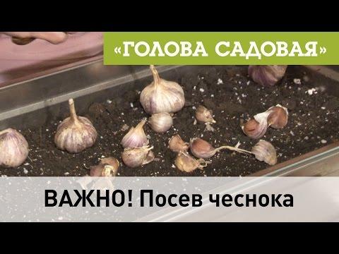Голова садовая -  ВАЖНО! Посев чеснока
