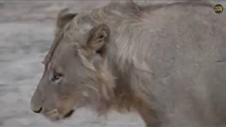 SouthAfricaDjChiTorPMsafariLIVE 22 Sep 2018 Nkuhuma pride and young Talamati male lion