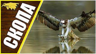Скопа - идеальный рыболов, животные Евразии, ястреб скопа