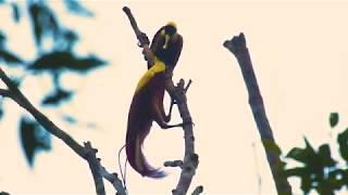 Birds Of Paradise In Raja Ampat