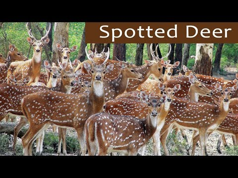 Beautiful Herd of Spotted Deer - Bandipur National Park