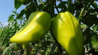 Выращиваем вкусный перец. Cultivation of pepper.(, 2014-08-15T08:08:40.000Z)