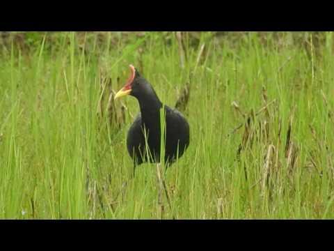 Watercock / BINANDA