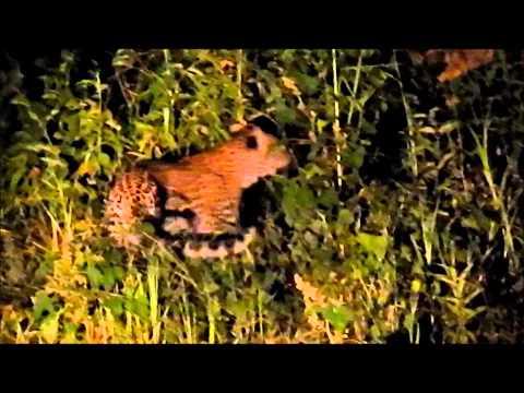 Matusadona Anti Poaching Leopard Sighting