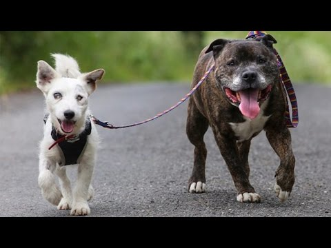 This Blind Dog Has His Own Guide Dog