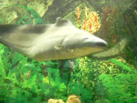 Fish profiling aba aba knife fish gymnarchus niloticus for Aba aba knife fish