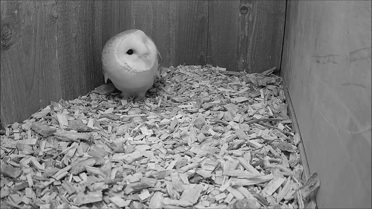 Barn Owl Nest Cam - b2var
