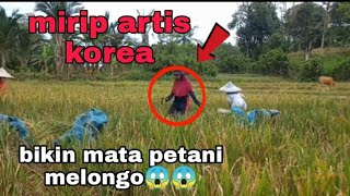 Download cewek cantik suku mante mirip artis Korea ikut potong padi di sawah, bikin mata melongo😱